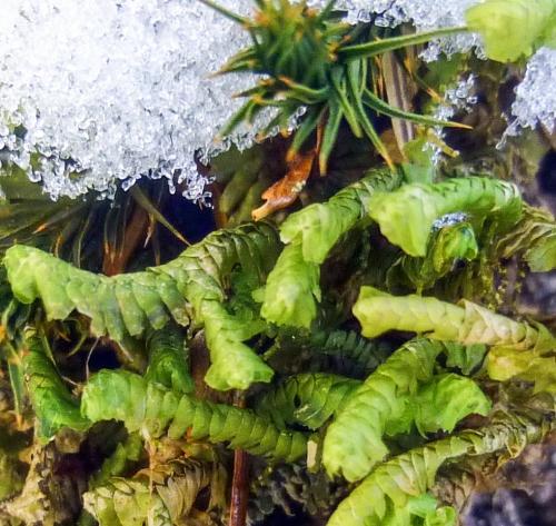 12. Greater Whipwort Liverwort
