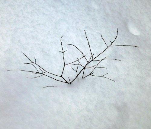 12. Hemlock Twig