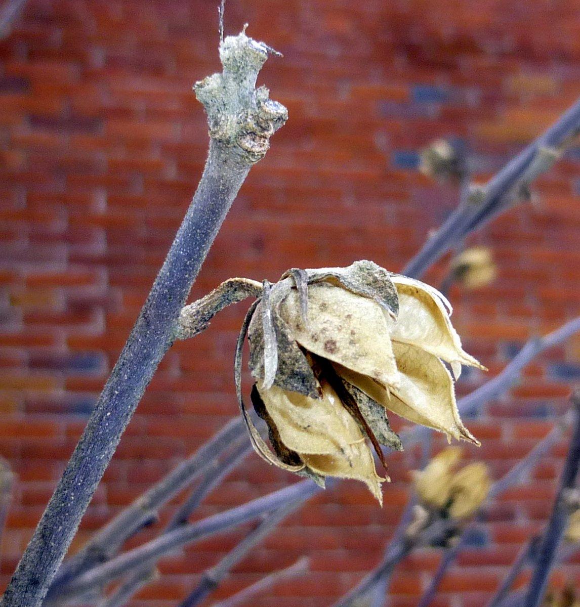12. Rose of Sharon Seed Pod