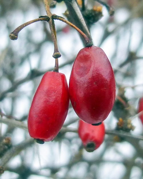14. Barberry Fruit