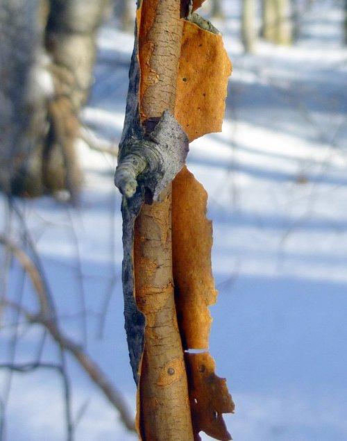 14. Orange Inner Bark
