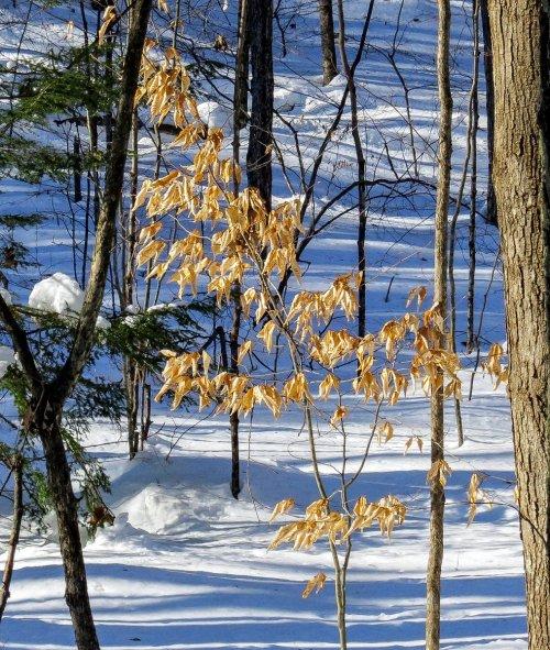 2. Beech Tree