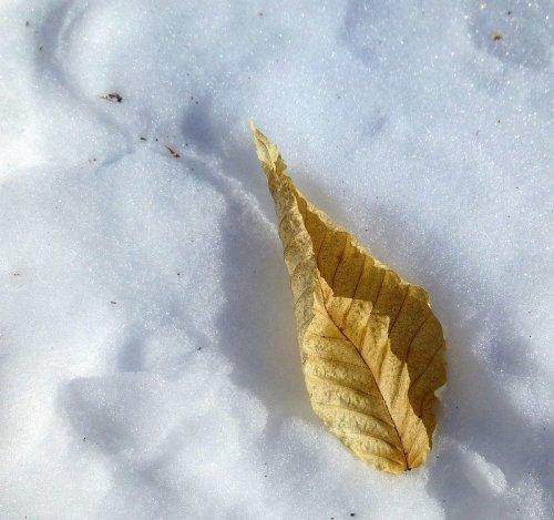3. Beech Leaf