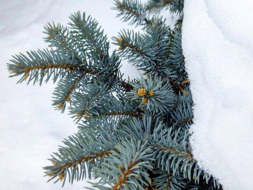 3. Blue Spruce