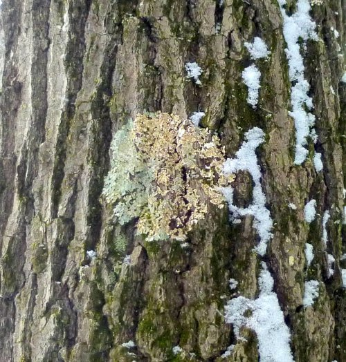 3. Common Greenshield Lichen