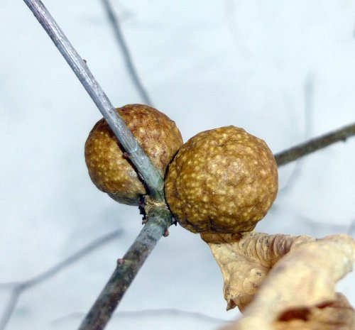 3. Oak Apple Gall