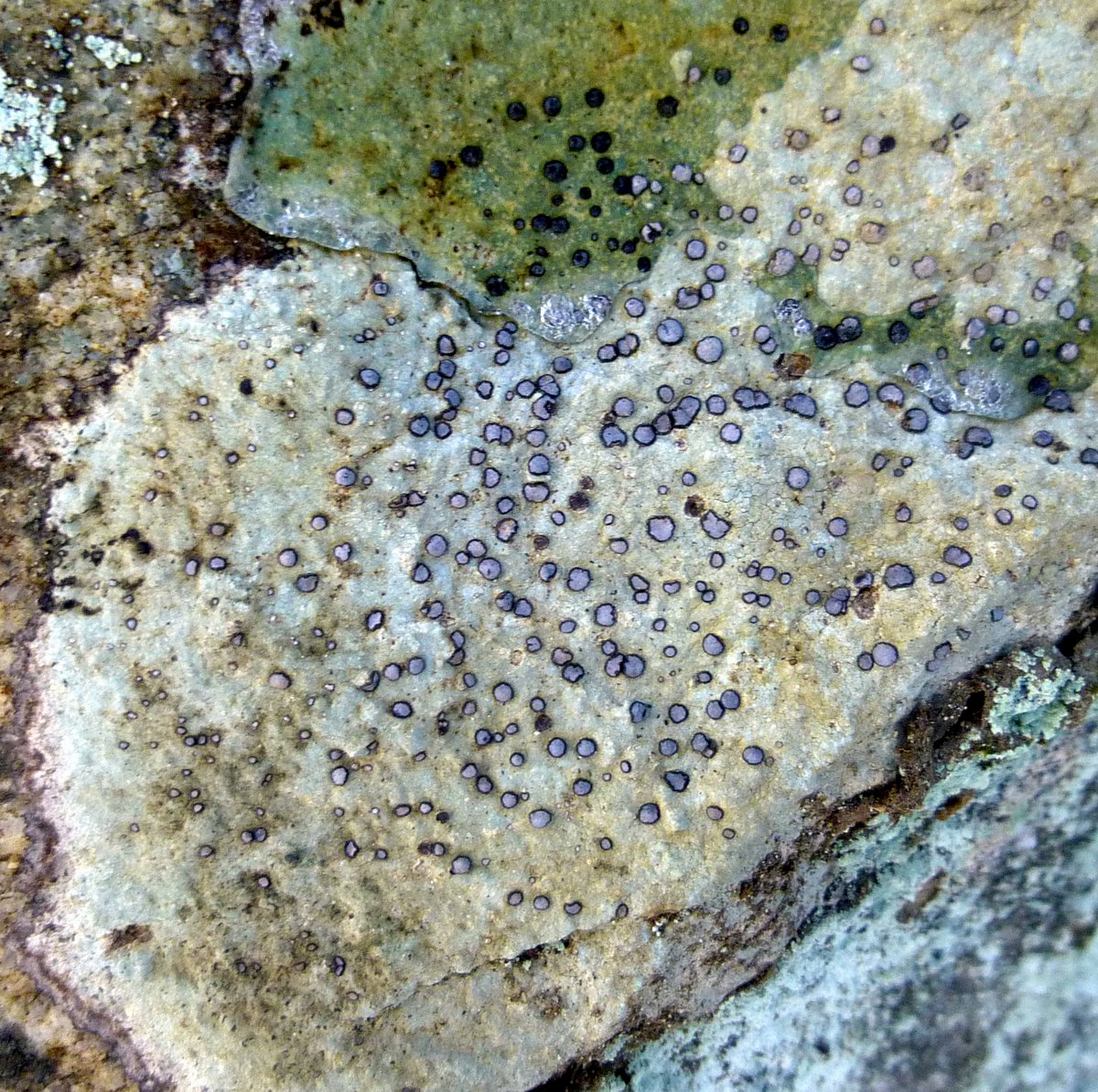 4. Smoky Eye Boulder Lichen
