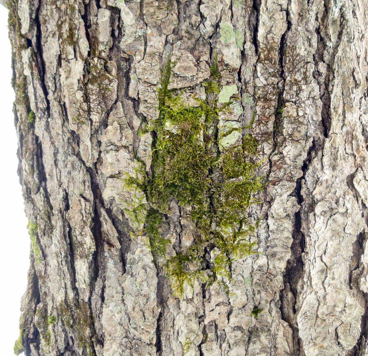 4. Stalked Feather Moss aka Brachythecium rutabulum