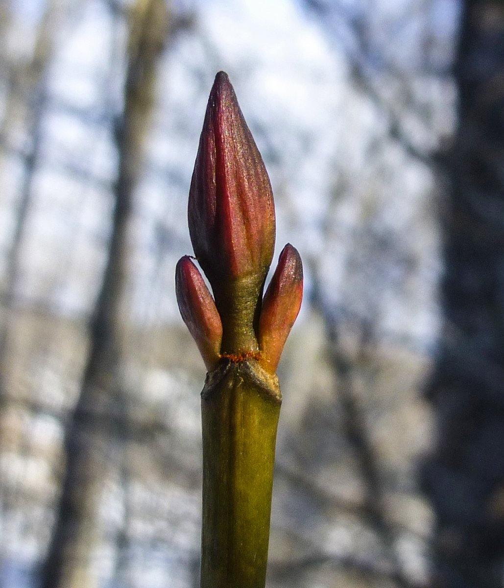 4. Striped Maple Buds