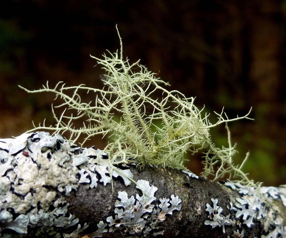 5. Fishbone Beard Lichen