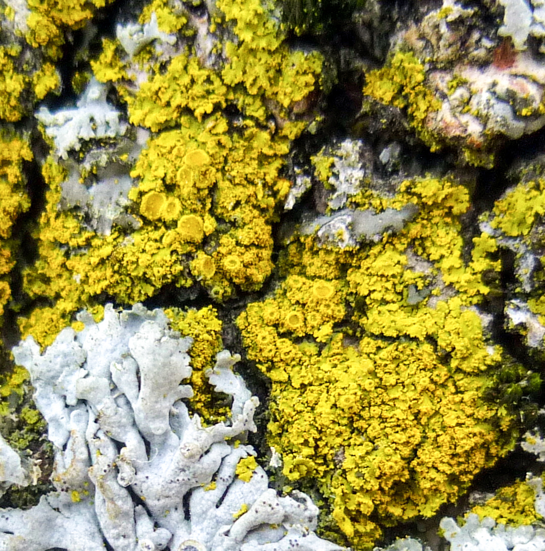 5. Fringed Candleflame Lichen Fruiting