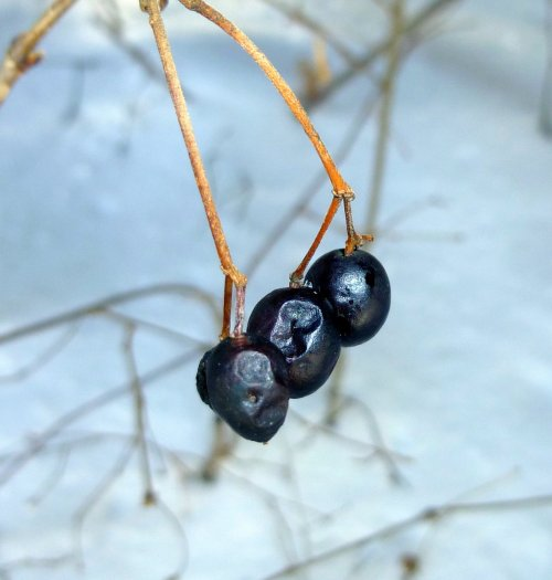 5. Maple Leaved Viburnum Fruit