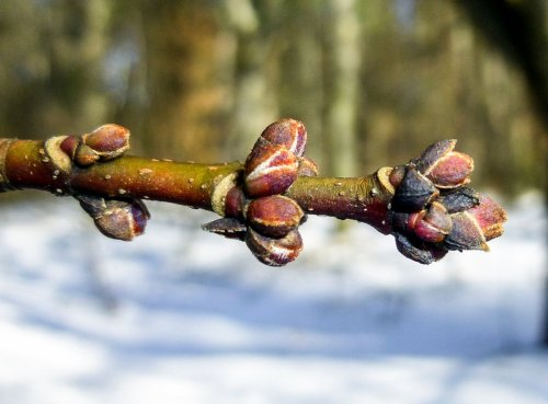 5. Red Maple Buds