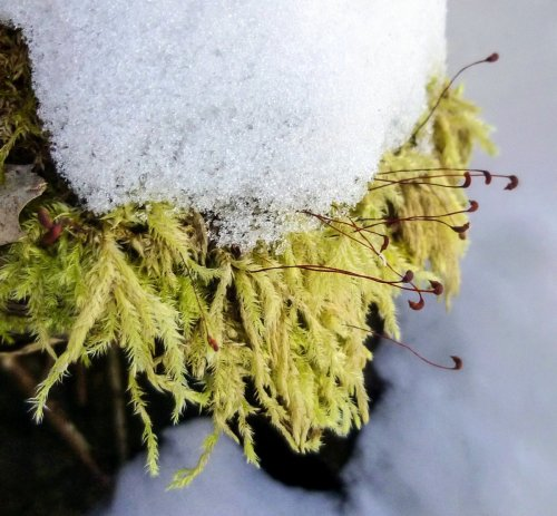 7. Yellow Feather Moss