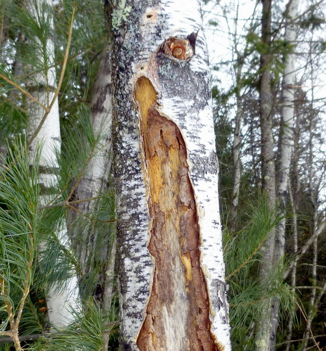 8. Frost Crack on Gray Birch