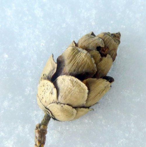 8. Hemlock Cone