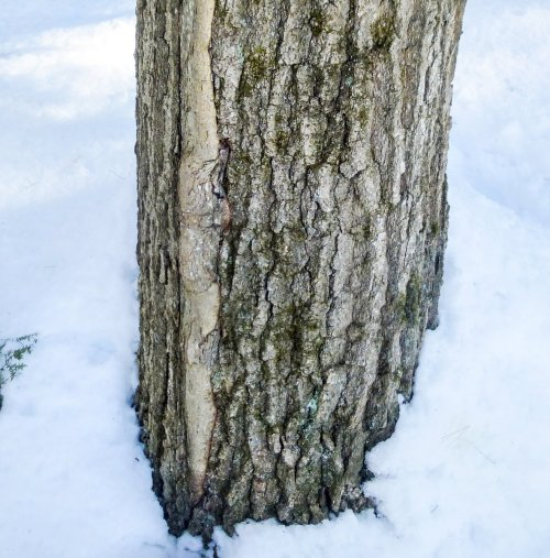 9. Frost Rib on Red Oak