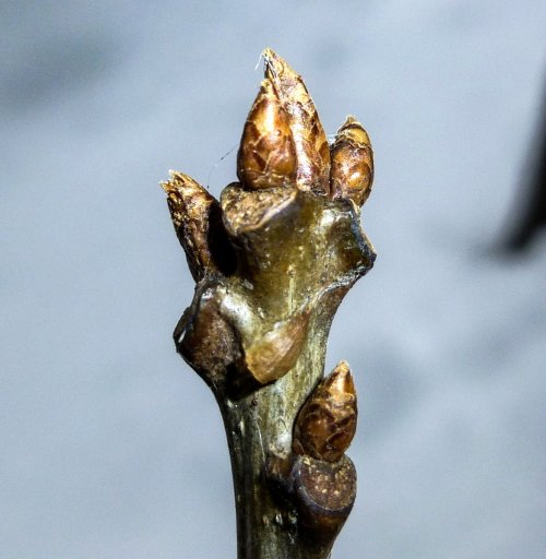 9. Red Oak Buds
