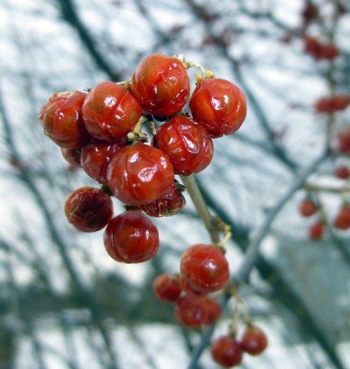 1. American Bittersweet Berries
