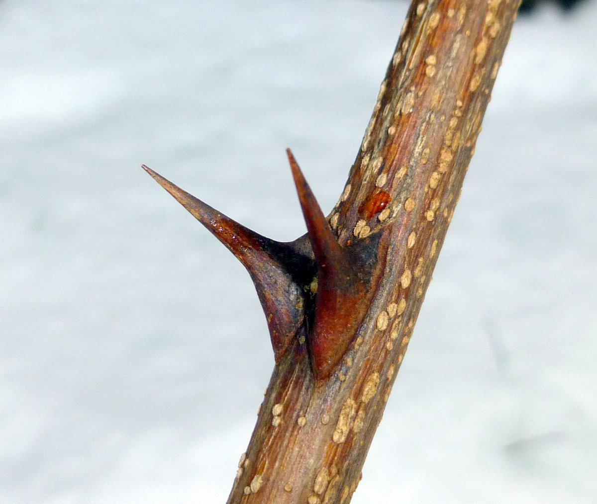 1. Black Locust Thorns