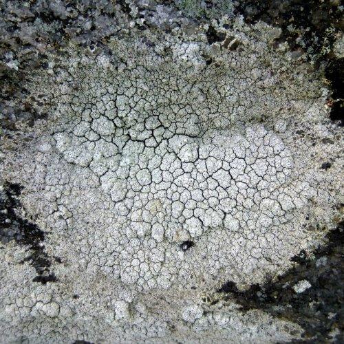 10. Contorted rimmed lichen aka Aspicilia contorta  Lichen