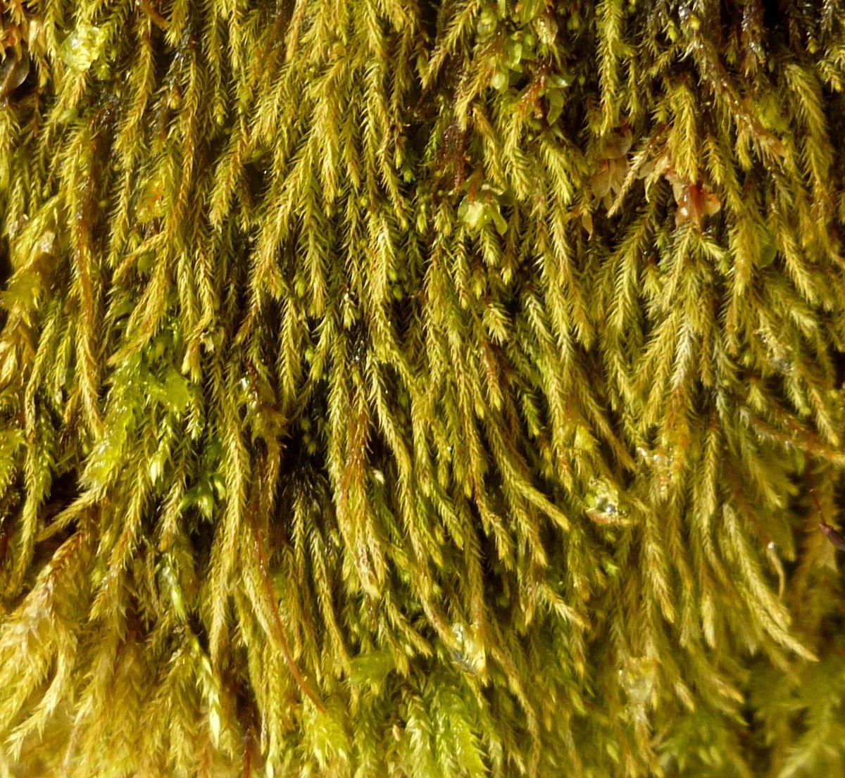 10. Golden Foxtail Moss aka Brachythecium salebrosum
