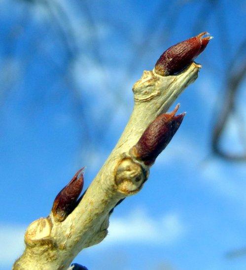 10. Wisteria Buds