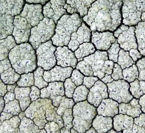 11. Contorted rimmed lichen aka Aspicilia contorta  Lichen Fruiting