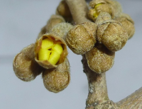 11. Witch Hazel Bud