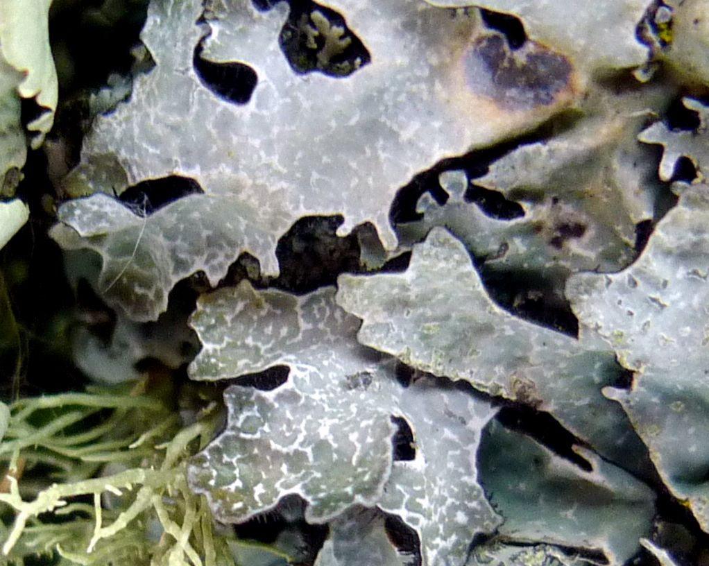 12. Hammered Shield Lichen