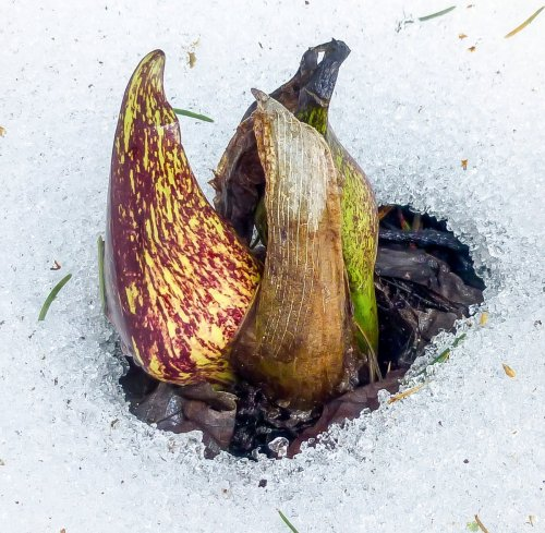 13. Skunk Cabbage Spathe