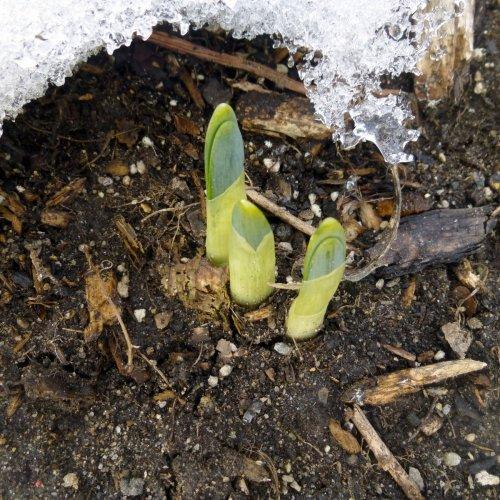 15. Daffodils