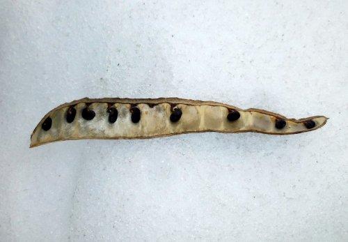2. Black Locust Seed Pod