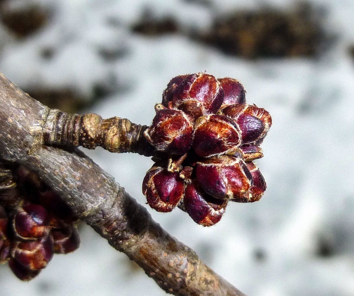 2. Red Maple Buds