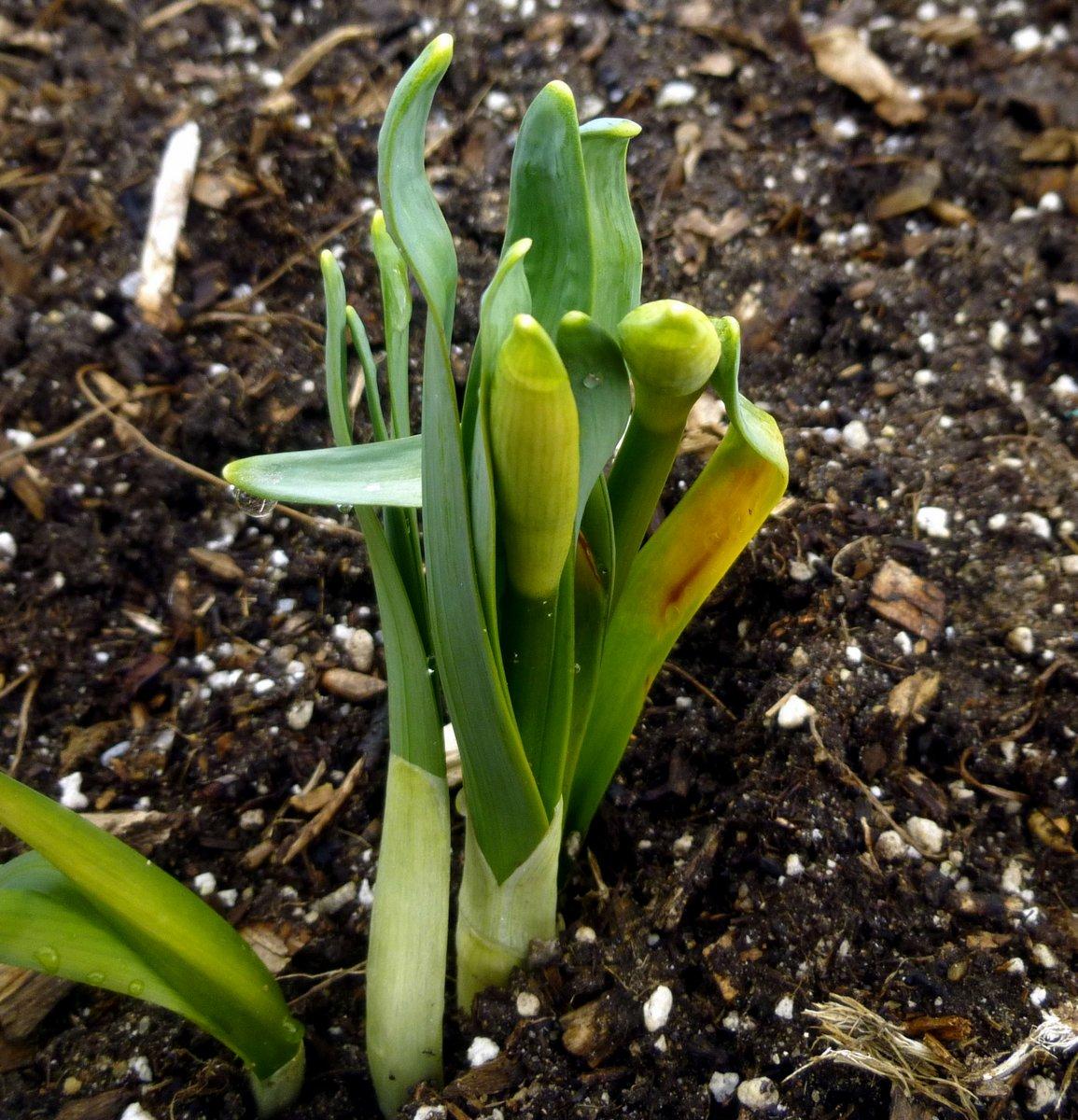 3. Budded Daffodils