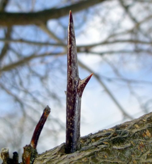 3. Honey Locust Thorn