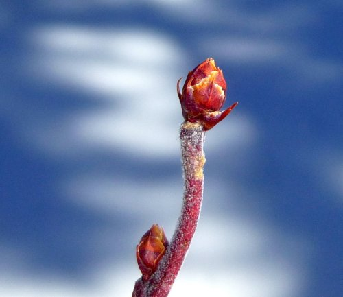 4. Highbush Blueberry Buds