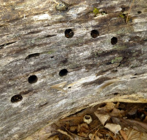 4. Round Holes in White Pine