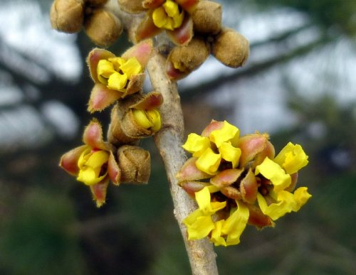 4. Witch Hazel Petals