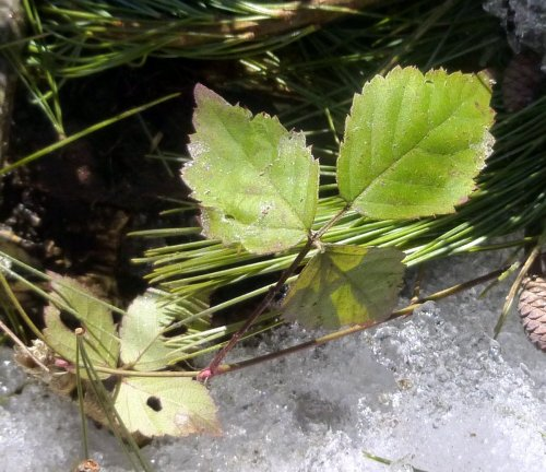 5. Dwarf Raspberry Leaves