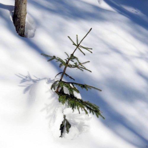 6. Spruce