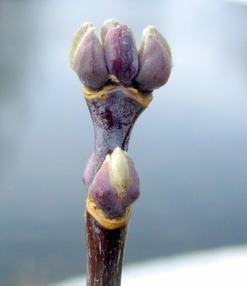 7. Box Elder Buds