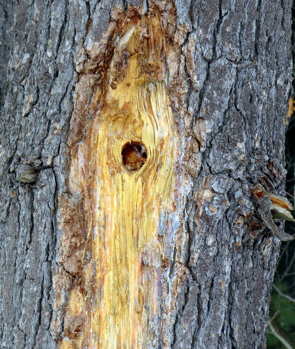 7. Hole in Pine Tree