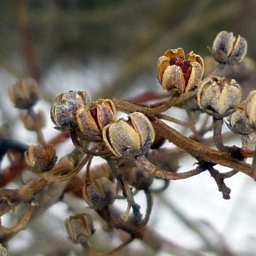 7. Maleberry Seed Pods