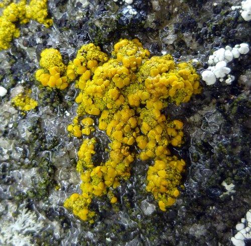 8. Mealy Firedot Lichen aka Caloplaca citrina