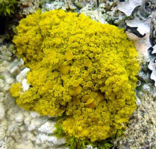8. Poplar Sunburst Lichen