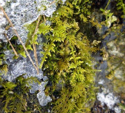 9. Delicate Fern Moss