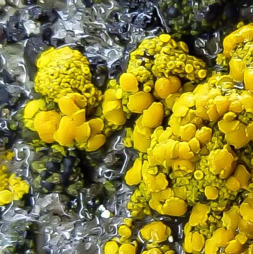 9. Mealy Firedot Lichen aka Caloplaca citrina