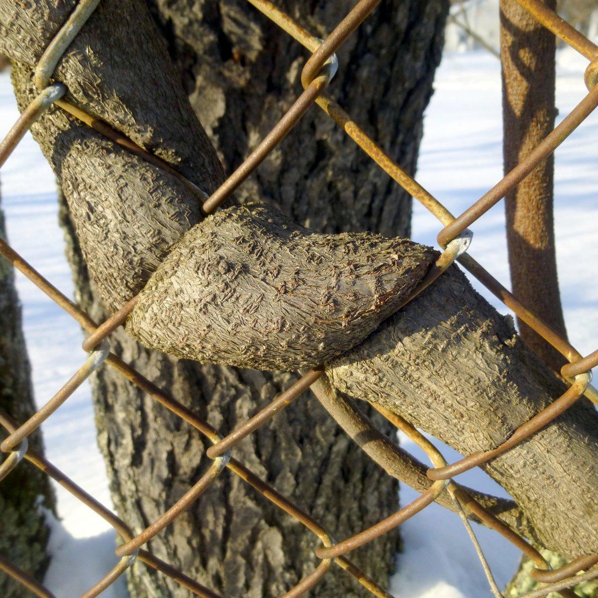 9. Wisteria in Fence