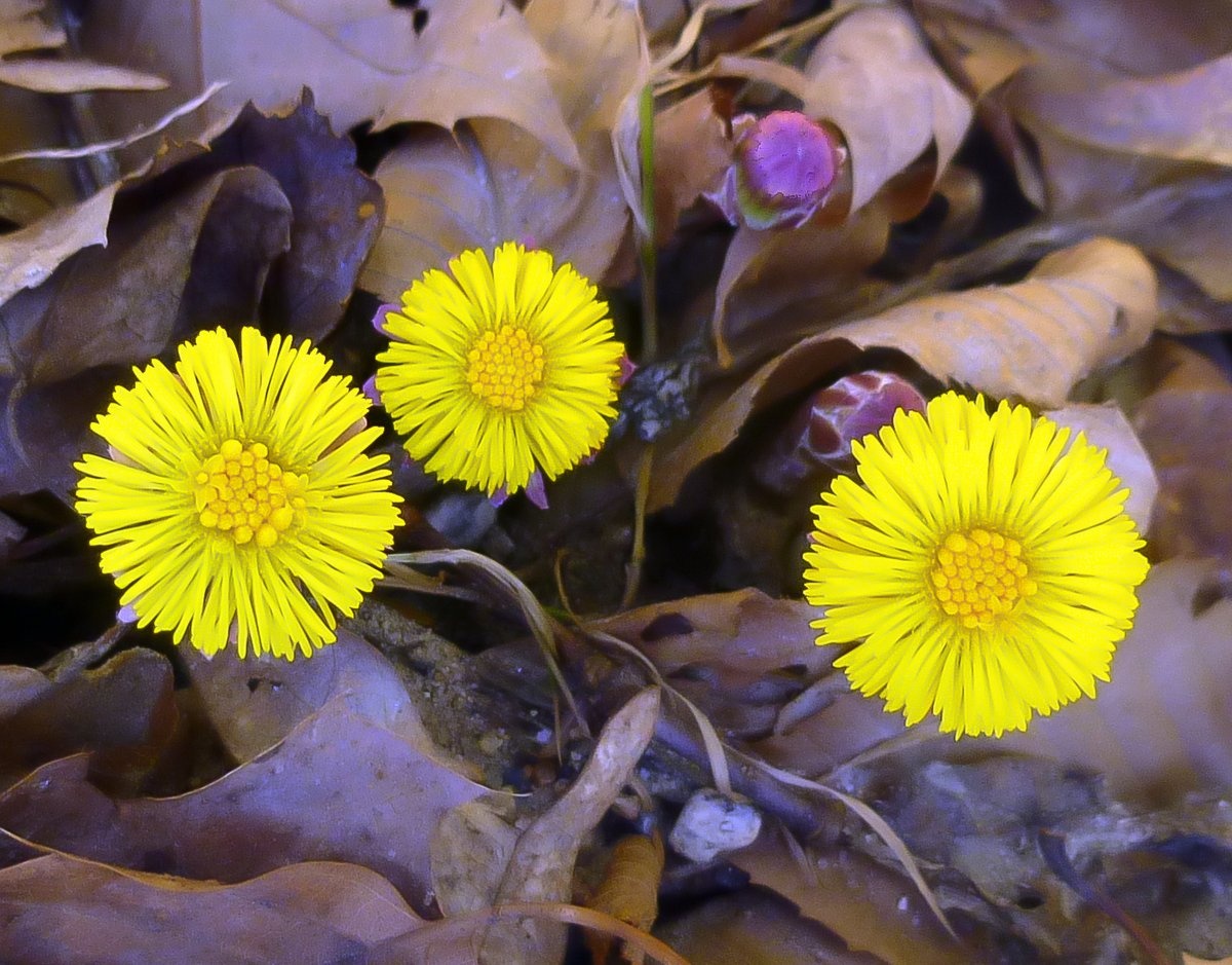 1. Coltsfoot Flowers